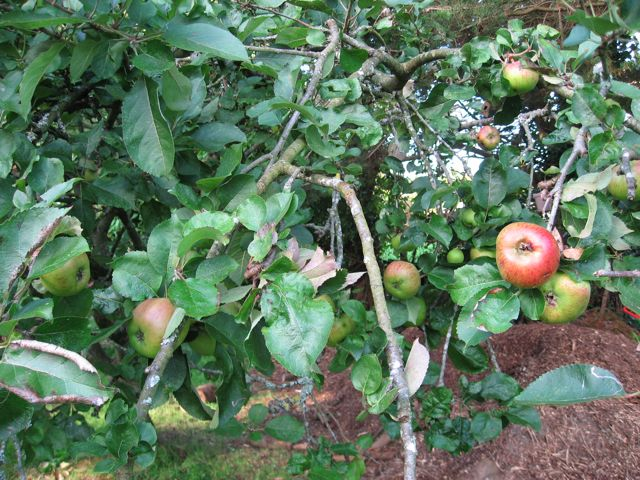 cooking apple tree.jpg